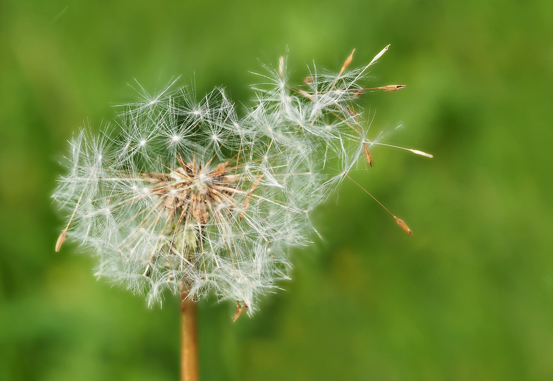 dandelion-1335575_1920